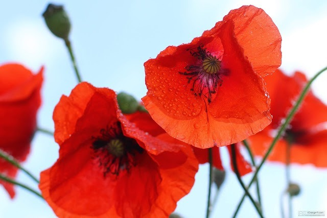 fleurs-de-pavot-rouges-1415784245_21